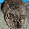 Avril - (Fraser & Bethany's Guinea Pig)