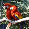 Say You Love Me Beautiful Little Red Bird!!<br /> By Kimberly Marshall