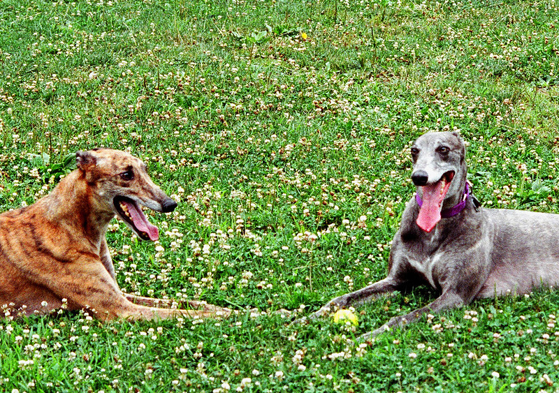 Trapper and Hawkeye - adopted from Greyhound Pets of America