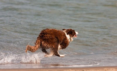 a beautifull Spaniel at play