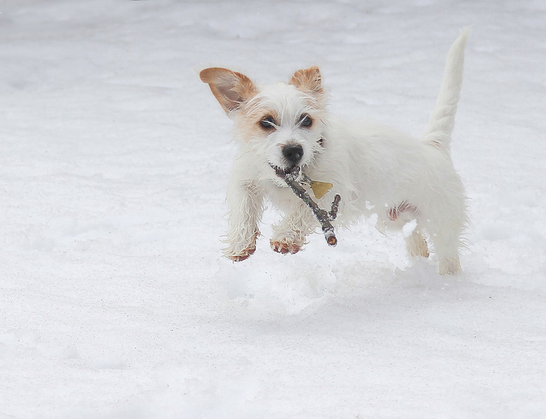 A little white dog is playing with a stick.