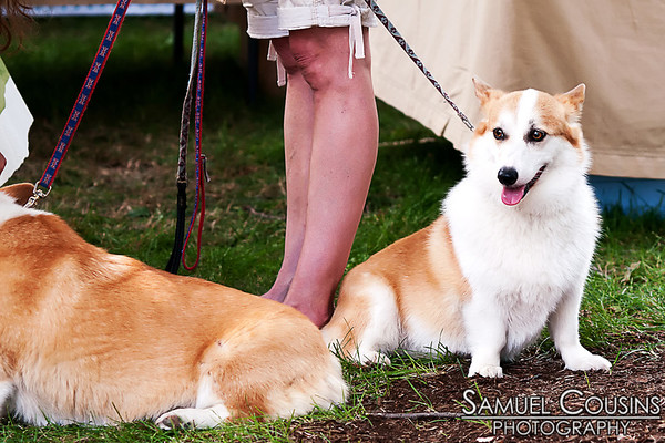Some corgis hanging out at the Picnic Festival in Lincoln Park.