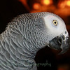 Peaches-African Gray Parrot (5)