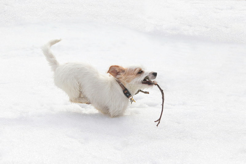 A small white dog is running on the snow.