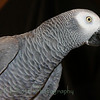 Peaches-African Gray Parrot (9)
