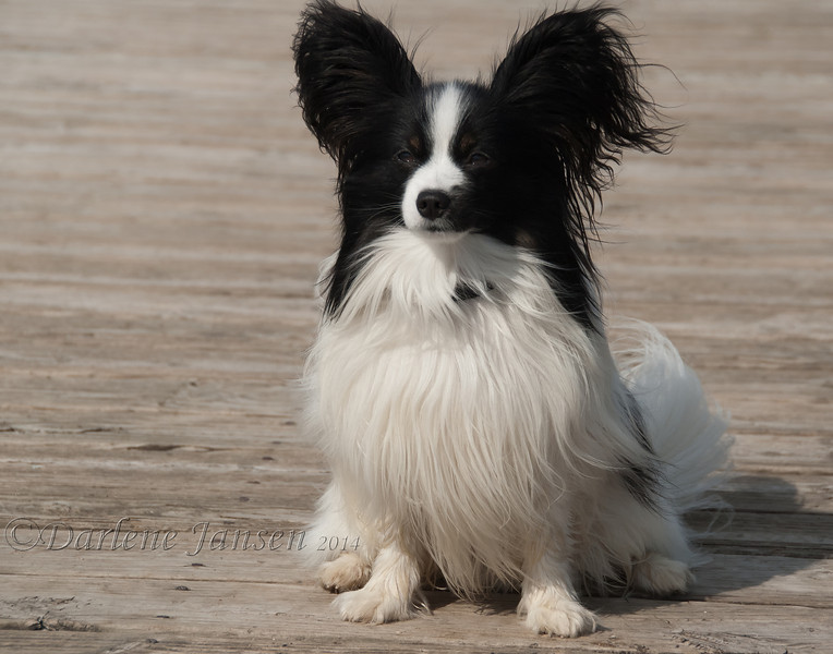 Thanks to this pet's owner, I was fortunate to take this image of this beautiful Papillon.  This little guy was super friendly and so very soft.