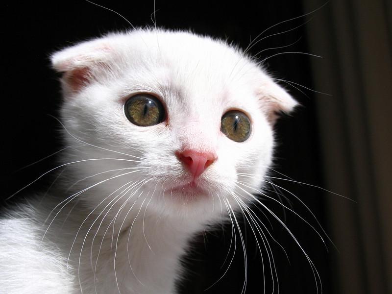 Hi! My name is Pixel! I'm a Scottish Fold Kitty!