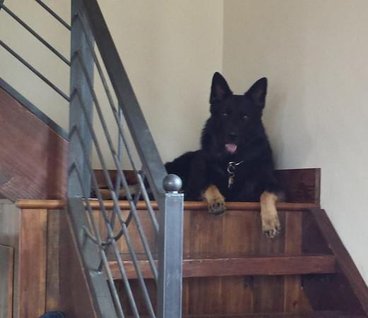 """Phalko vom Geistwasser, aka """"Rocco"""" keeping watch over the house"""