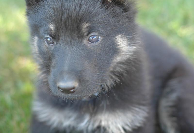 light blue collar male<br /> <br /> 5.5wks old