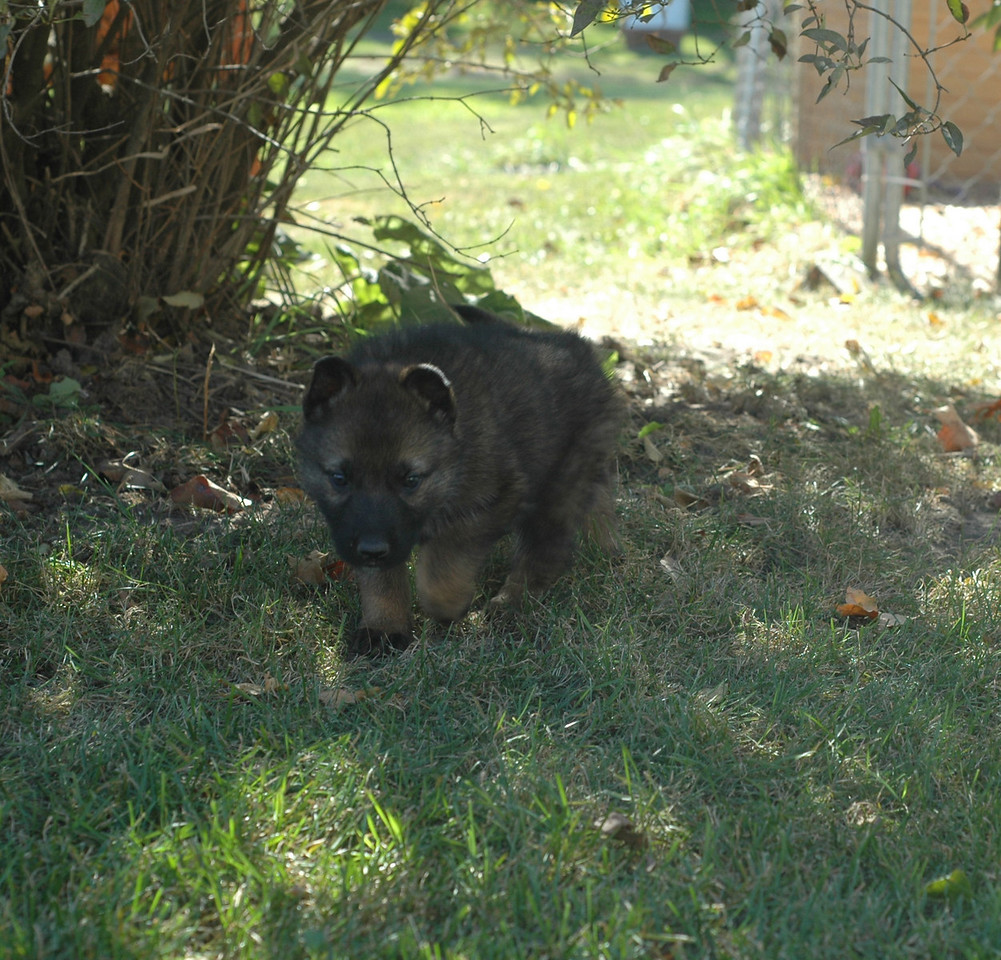 dk blue collar male, looking stealthy<br /> <br /> 5.5wks old