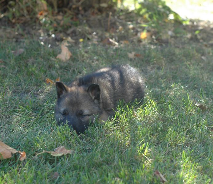 dk blue male, looking sleepy :)<br /> <br /> 5.5wks old