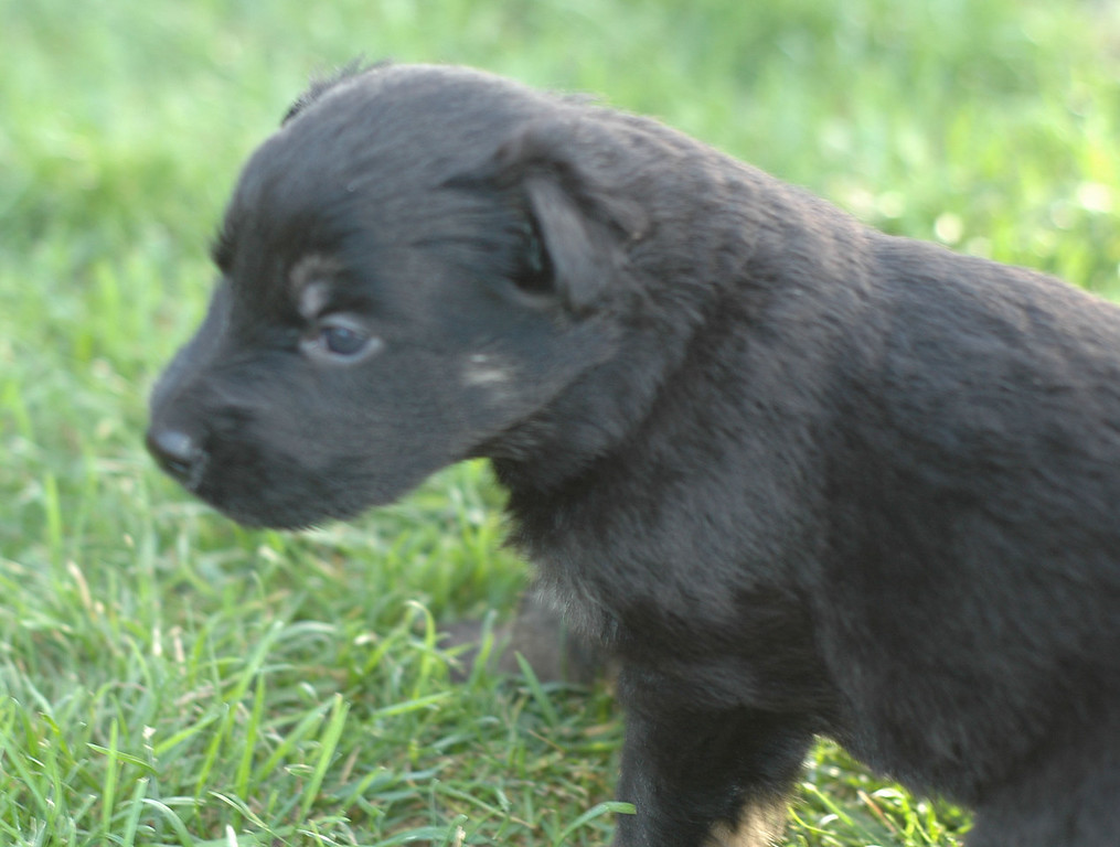 no collar girl (formerly white collar), very dark pigment<br /> <br /> 3.5wks old