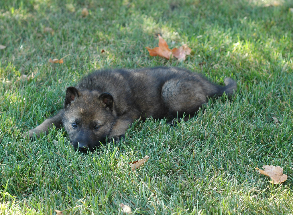 dark blue collar male<br /> <br /> 5.5 wks old