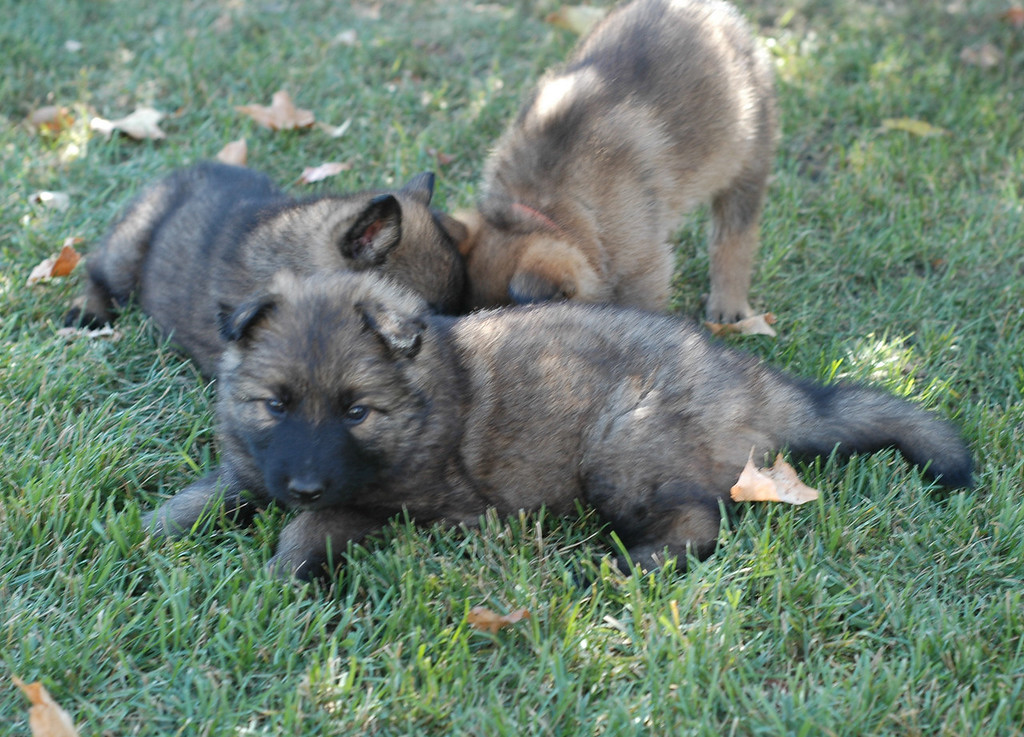 dk blue male & rainbow male plotting against green collar boy :)<br /> <br /> 5.5wks old