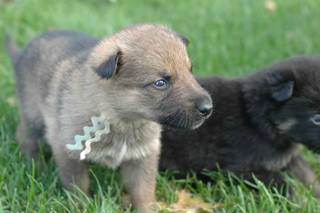 Rainbow boy & yellow collar female<br /> <br /> 3.5wks old