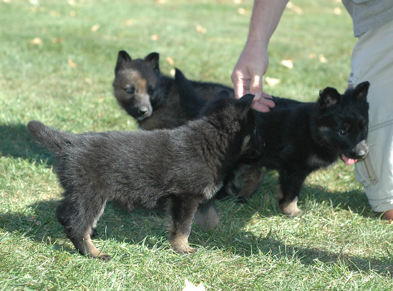 dk blue boy (sable), pink girl and red collar male <br /> <br /> 5.5wks old
