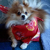 Sami Pomeranian, Christmas scarf