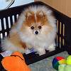 Sami Pomeranian  sitting in his basket