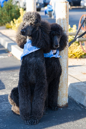 Poodle Day 2013 - Parade