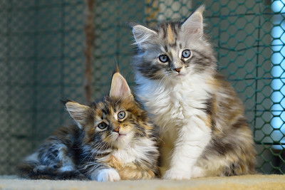 Kittens at the Cattery
