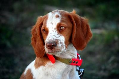 Brittany Puppy