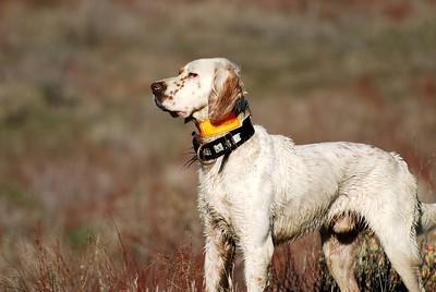 1st Place Amateur Gun Dog