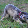 Bedlington Terriers :