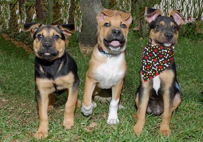 309402196_Shepherd pups best