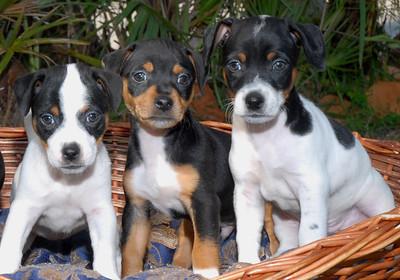3 jack puppies