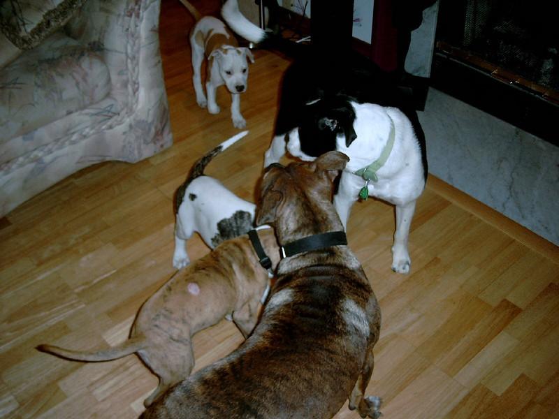 Puppies and step dad Cadbury.