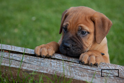 Kane:  Mastiff Puppy © Copyright m2 Photography - Michael J. Mikkelson 2011. All Rights Reserved. Images can not be used without permission.