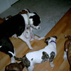 Puppies and step dad Cadbury.