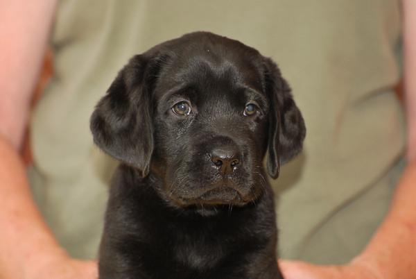 puppy boy 7 weeks head shot