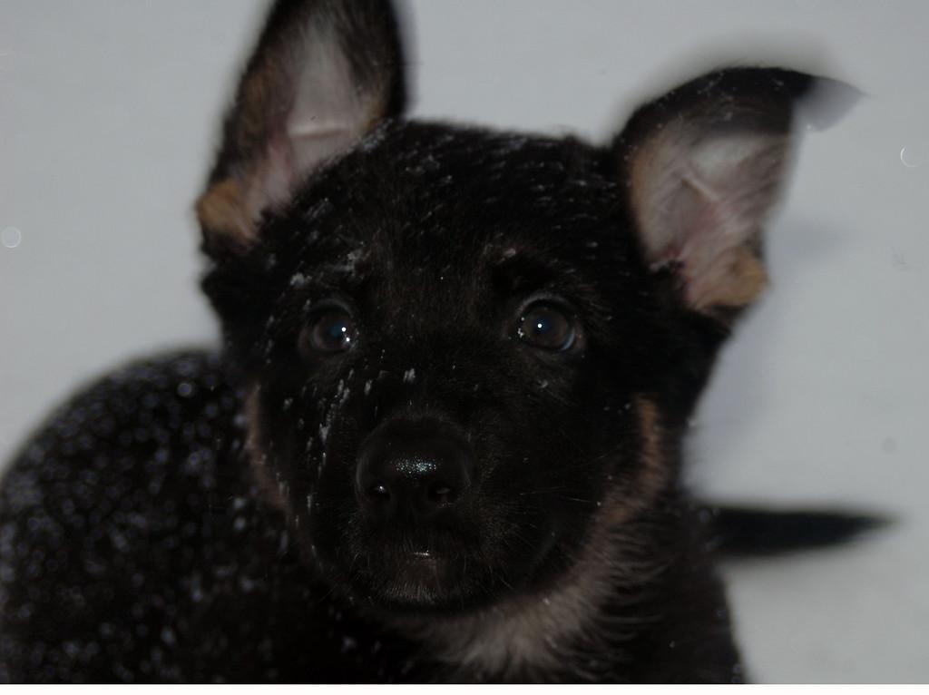Quinn vom Geistwasser, four months old :)