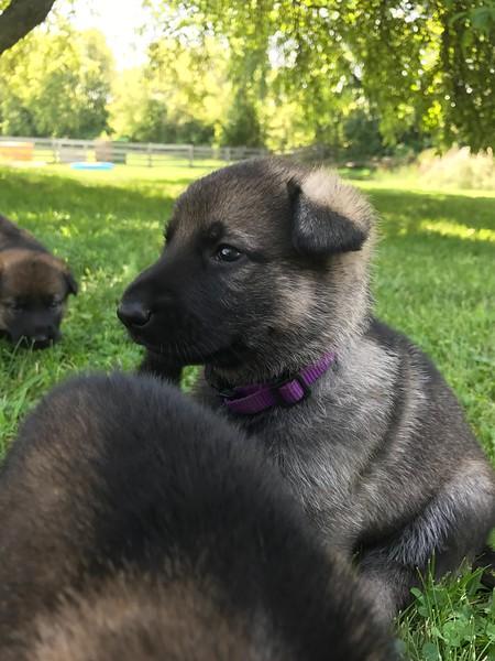 Pups at 3.5wks old<br /> July 23, 2017