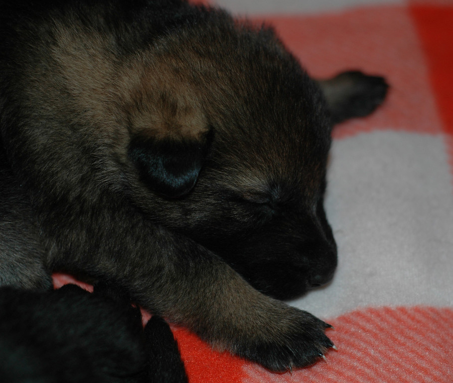 Sable male, 3 wks old