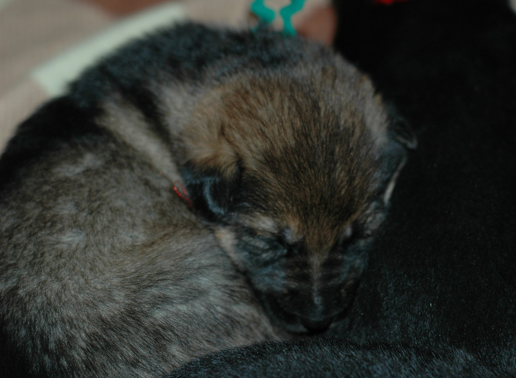 Sable girl, green collar, 3wks