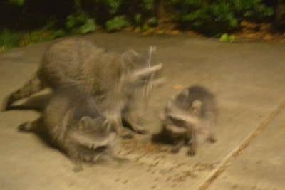Racoons 9/14/12