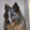 Tinsel Sheltie
