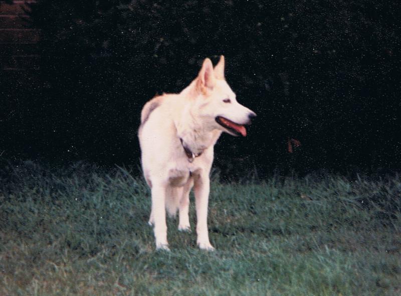 Anastasia Siberian Husky Shepherd mix, 12/27/77-1/30/94