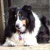 Daphne Tri-Color Sheltie 2/8/94-12/29/97
