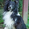 Rayder, Sheltie,  went to the rainbow bridge at 13 years on 2/20/06