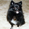 Lacey Pomeranian went to the Rainbow Bridge