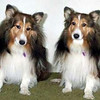 Gem Beau, Sheltie, went to the Rainbow Bridge at the age of 13 years on 5/17/03