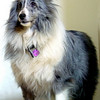 Tinsel Sheltie 12/01/96-8/31/2005