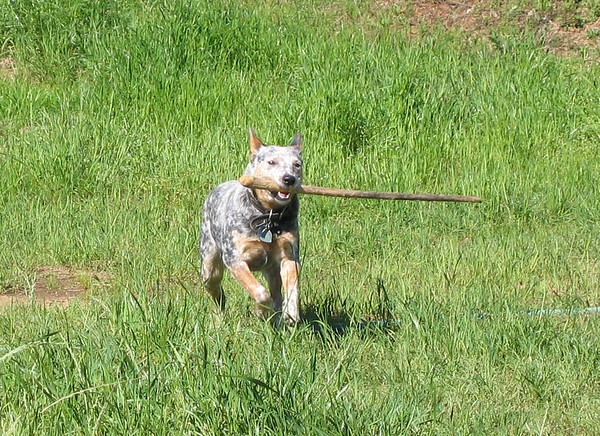 Rascal playing fetch with a stick that's longer than her own body (183_8301)