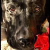 "Valentine's Day: ""Labs Love People.""<br /> <br /> Photographer's Name: J.R. Rosencrans<br /> Photographer's City and State: Alexandria, Ind."