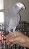 Miss Freedom African Grey (Parrot)<br /> <br /> Photographer's Name: Jaci Reynolds<br /> Photographer's City and State: Anderson, Ind.