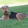 This is Max, our 6 yr old Airedale Terrier.  Max is one of our rescured airedales.<br /> <br /> Photographer's Name: Nikki Tucker<br /> Photographer's City and State: Anderson, IN