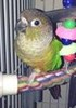 Miss Lisa (Green-Cheek) Conure<br /> <br /> Photographer's Name: Jaci Reynolds<br /> Photographer's City and State: Anderson, Ind.